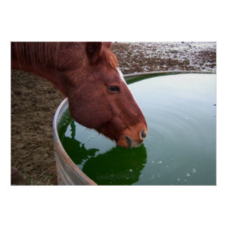 Horse Drinking Poster