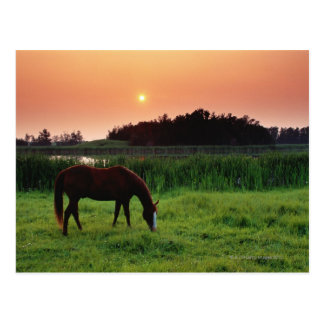 Horse Grazing in Field at Sunset Near Edmonton, Postcard