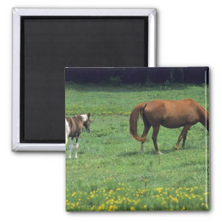 Horse grazing in pasture with colt. square magnet