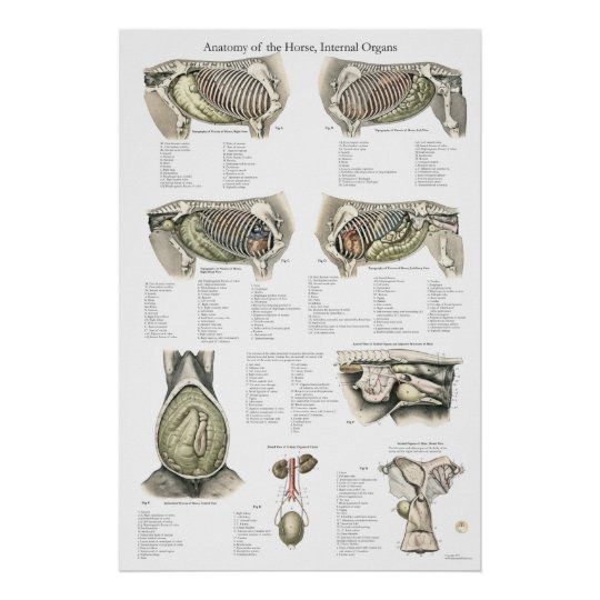Horse Internal Anatomy Poster Chart