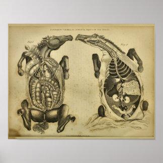 Horse Internal Anatomy Vintage Veterinary Print