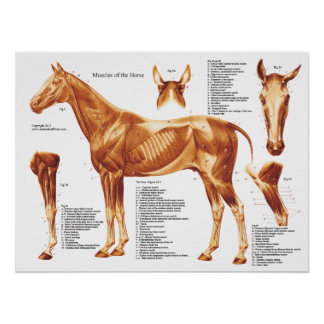 Horse Muscle Anatomy Chart Poster