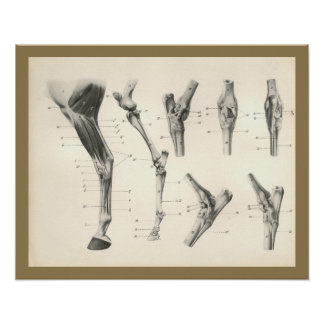 Horse Muscles Leg Bones Joints Anatomy Print