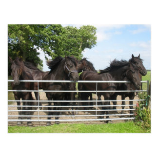 Horses at the Fence Postcard