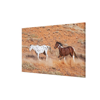 Horses roaming the Big Horn MT of Shell Wyoming. 2 Canvas Print