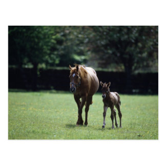 Horses - Thoroughbred, Mare And Foal, Postcard