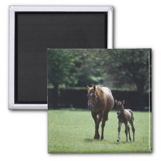 Horses - Thoroughbred, Mare And Foal, Square Magnet
