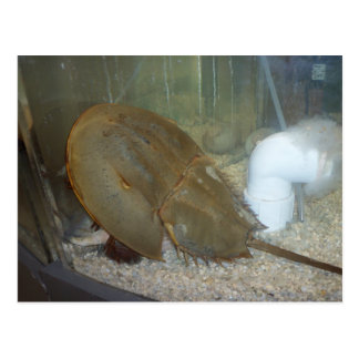 Horseshoe Crab, #1 Postcard