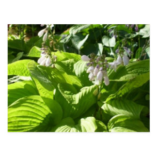hosta interpreting sunlight postcard