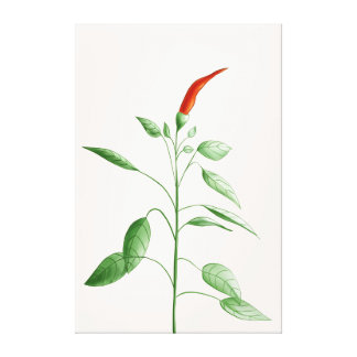 Hot Chili Pepper Plant Botanical Illustration Canvas Print