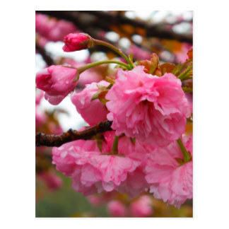 Hot Pink Cherry Blossom Flowers Postcard