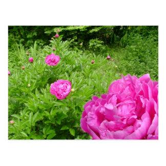 Hot Pink Peony Garden postcard