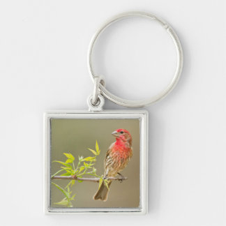 House Finch (Carpodacus Mexicanus) Male Perched Silver-Colored Square Keychain