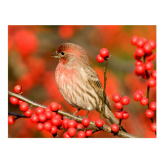 House Finch on Common Winterberry Postcard