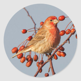 House Finch with Hawthorn Berries Classic Round Sticker