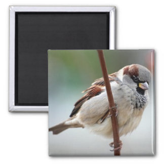 house-sparrow-male magnet