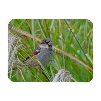 House Sparrow on Pampas Grass Rectangular Photo Magnet