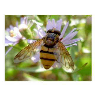 Hoverfly - Volucella inanis Postcard