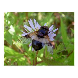 Hoverfly - Volucella pellucens Postcard