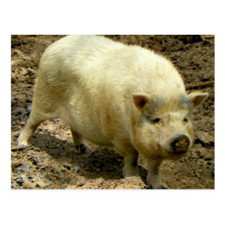 Howdy Hog Postcard