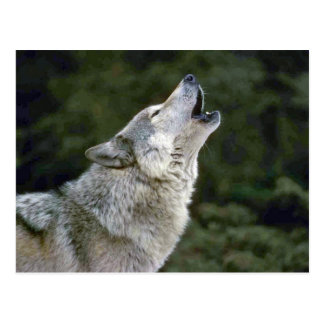 Howling grey wolf beautiful photo portrait postcard