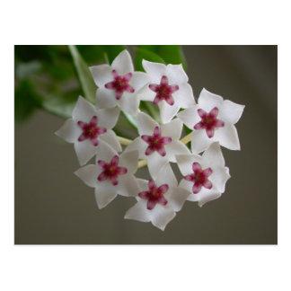 Hoya lanceolata ssp. bella postcard