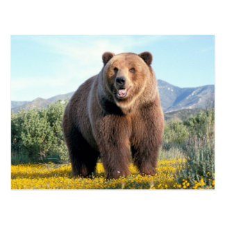 Huge Brown Bear Postcard