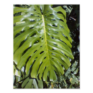 Huge leaf, of native Hawaiian, monstera plant Poster