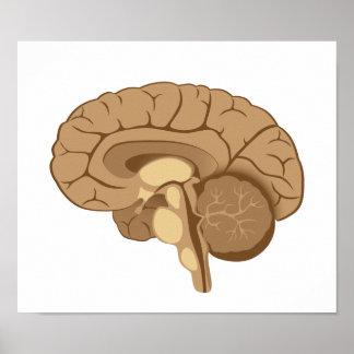 Human brain anatomy Poster