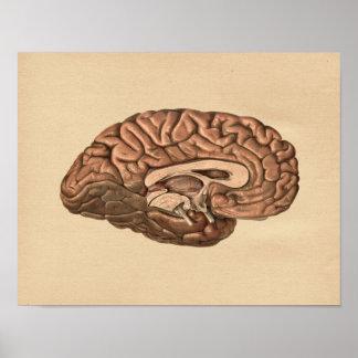 Human Brain Anatomy Vintage Print