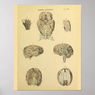 Human Brain Cranial Spinal Nerves Anatomy Print