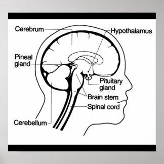 Human Brain Medical Anatomy Diagram Poster