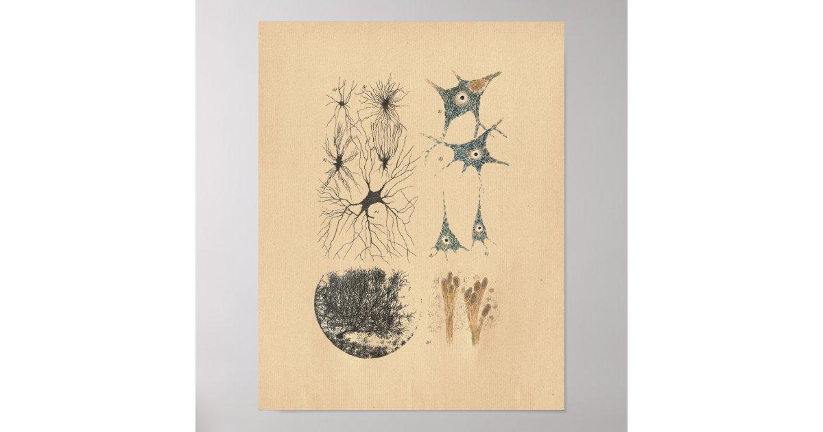 Human Brain Neuron Anatomy Vintage Print Zazzle