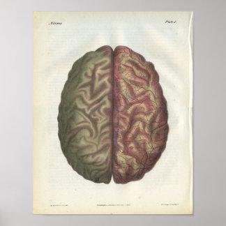 Human Brain Vintage Anatomy Print