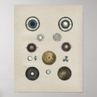 Human Eye Anatomy Vintage Print