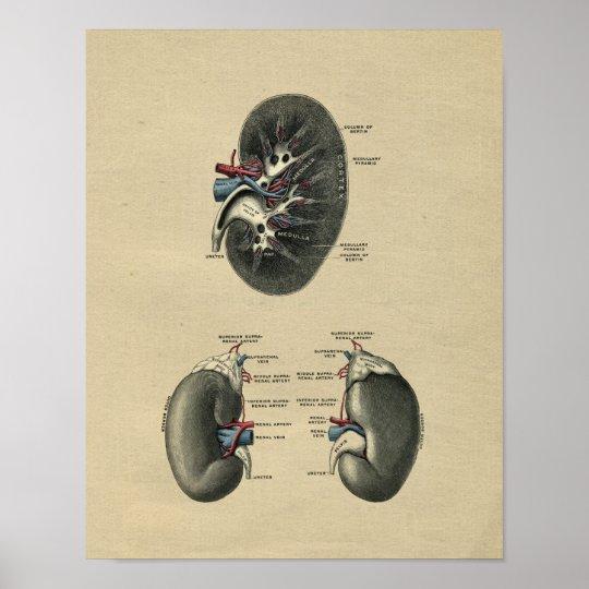 Human Kidney Anatomy 1902 Vintage Print