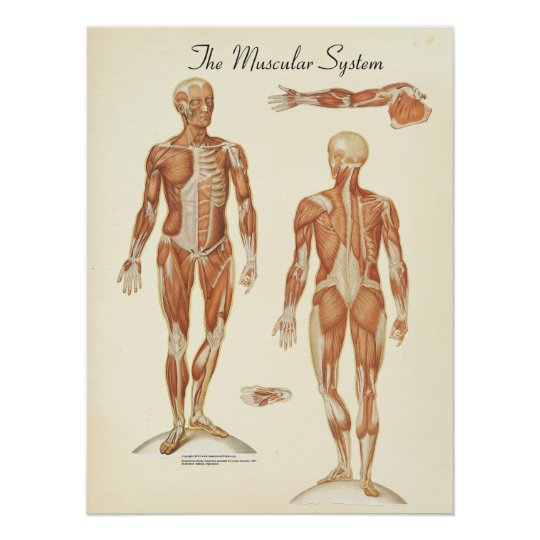 Human Muscle Anatomy Chart