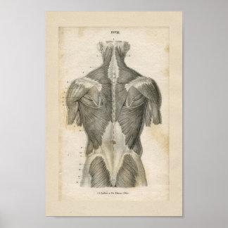 Human Muscle Vintage Anatomy Print