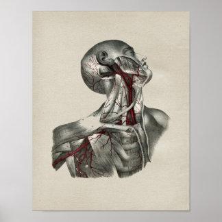 Human Neck Anatomy Vintage Print