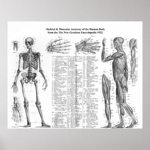Skeletal Muscle Human Body