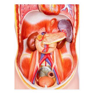 Human torso model with organs postcard