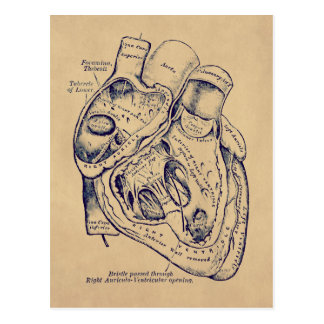 Human heart anatomy vintage - photo#24