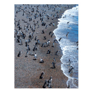 Humboldt Penguins at the Beach Postcard