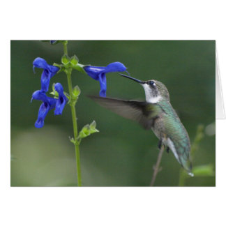 Humming Bird salvia sapphire blue 2 Card