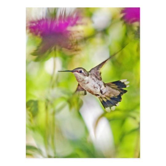 Hummingbird and Bee Balm Postcard
