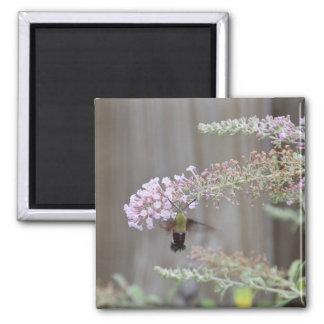 Hummingbird Clearwing Moth Blank Card Magnet