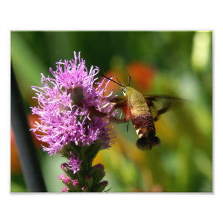 Hummingbird Clearwing Moth, Photo Print.