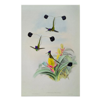 Hummingbird, engraved by Walter and Cohn Poster