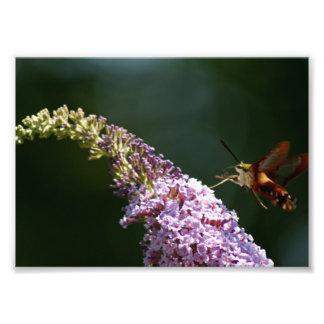HummingBird Moth 7 x 5 Photographic Print