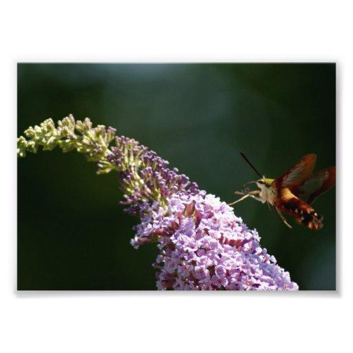 HummingBird Moth 7 x 5 Photographic Print